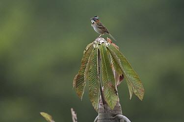 Rufous-collared Sparrow (Zonotrichia capensis) singing, Peru  -  Murray Cooper