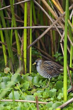 Sora (Porzana carolina) in wetland habitat, Colombia  -  Murray Cooper