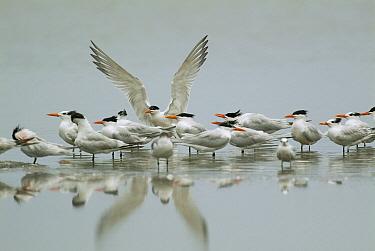 Elegant Tern (Thalasseus elegans) landing amid flock, Ecuador  -  Murray Cooper