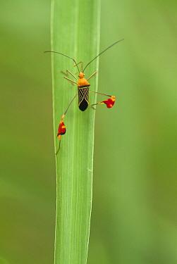 Squash Bug (Coreidae), Ecuador  -  Murray Cooper