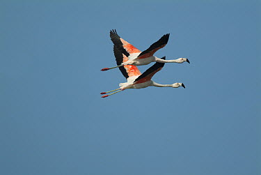 Chilean Flamingo (Phoenicopterus chilensis) pair flying, Ecuador  -  Murray Cooper