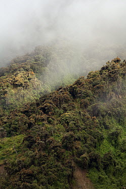 Montane forest shrouded in clouds, Cayambe Coca Ecological Reserve, Ecuador  -  Murray Cooper