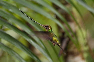 Sword-billed Hummingbird (Ensifera ensifera) female hovering, Ecuador  -  Murray Cooper