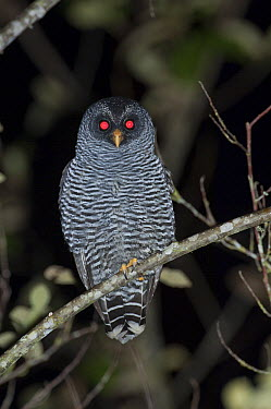Black-and-white Owl (Strix nigrolineata) and Band-bellied Owl (Pulsatrix melanota) hybrid with glowing eyes, Ecuador  -  Murray Cooper