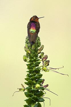 Shining Sunbeam (Aglaeactis cupripennis) hummingbird, Ecuador  -  Murray Cooper