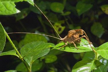 Katydid (Typophyllum sp) juvenile mimicking dried leaf, Amazon, Ecuador  -  Murray Cooper