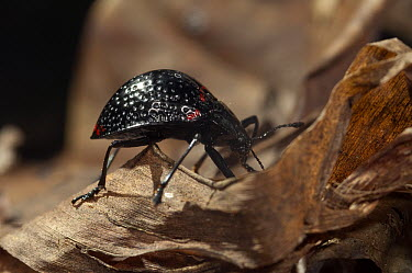 Pleasing Fungus Beetle (Erotylus sp), Amazon, Ecuador  -  Murray Cooper