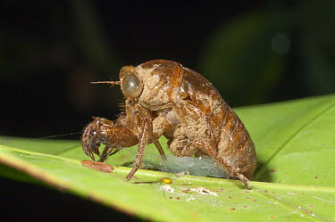 Cicada (Cicadidae) exuvia, the remains of an exoskeleton after molting, Amazon, Ecuador  -  Murray Cooper