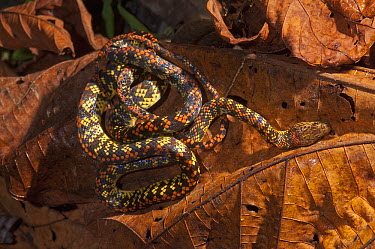 Panama Spotted Night Snake (Siphlophis cervinus) coiled on leaf, Amazon, Ecuador  -  Murray Cooper