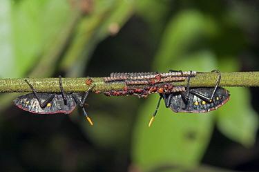 Squash Bug (Coreidae) pair tending to young, Amazon, Ecuador  -  Murray Cooper