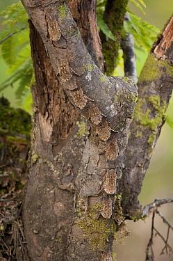 Greater Sac-winged Bat (Saccopteryx bilineata) group roosting on tree, Amazon, Ecuador  -  Murray Cooper