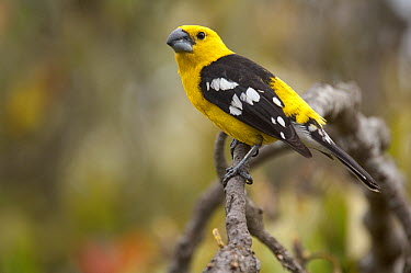 Golden-bellied Grosbeak (Pheucticus chrysogaster) male, Ecuador  -  Murray Cooper
