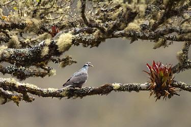 Band-tailed Pigeon (Patagioenas fasciata), Colombia  -  Murray Cooper