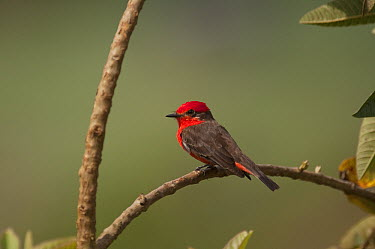 Vermilion Flycatcher (Pyrocephalus rubinus) male, Colombia  -  Murray Cooper