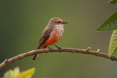 Vermilion Flycatcher (Pyrocephalus rubinus) female, Colombia  -  Murray Cooper