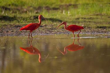 Scarlet Ibis (Eudocimus ruber) pair wading, Colombia  -  Murray Cooper