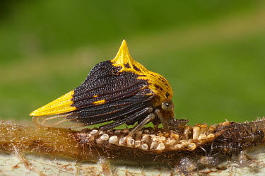 Treehopper (Ennya sp) mother with nymphs and eggs, Ecuador  -  Murray Cooper