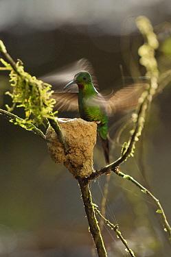Fiery Topaz (Topaza pyra) hummingbird female at nest, Ecuador  -  Murray Cooper
