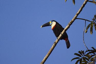Red-billed Toucan (Ramphastos tucanus), Ecuador  -  Murray Cooper