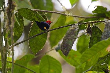 Red-capped Manakin (Pipra mentalis) male, Ecuador  -  Murray Cooper