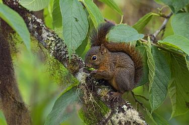 Red-tailed Squirrel (Sciurus granatensis) feeding, Ecuador  -  Murray Cooper