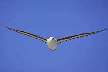 Black-browed Albatross (Thalassarche melanophrys) flying, Steeple Jason Island, Falkland Islands  -  Suzi Eszterhas