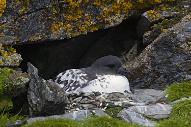 Pintado Petrel (Daption capense) on nest in cliff, Shingle Cove, South Orkney Islands, Southern Ocean  -  Suzi Eszterhas