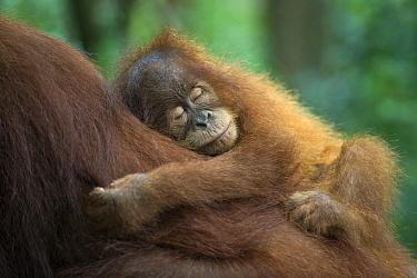 Sumatran Orangutan (Pongo abelii) two and a half year old baby sleeping on mother, Gunung Leuser National Park, north Sumatra, Indonesia  -  Suzi Eszterhas
