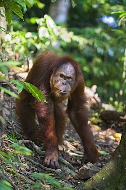 Sumatran Orangutan (Pongo abelii) sub-adult male, Gunung Leuser National Park, north Sumatra, Indonesia  -  Suzi Eszterhas