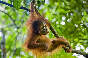 Sumatran Orangutan (Pongo abelii) nine month old baby playing in tree, Gunung Leuser National Park, north Sumatra, Indonesia  -  Suzi Eszterhas