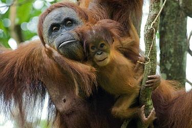 Sumatran Orangutan (Pongo abelii) mother and playful two month old baby, Gunung Leuser National Park, north Sumatra, Indonesia  -  Suzi Eszterhas