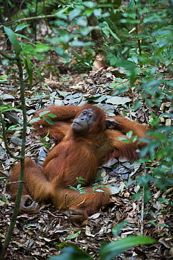 Sumatran Orangutan (Pongo abelii) female resting on ground nest,Gunung Leuser National Park, north Sumatra, Indonesia  -  Suzi Eszterhas