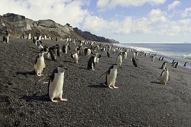 Chinstrap Penguin (Pygoscelis antarctica) colony on beach, Bailey Head, Deception Island, Antarctica  -  Suzi Eszterhas