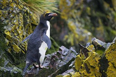 Macaroni Penguin (Eudyptes chrysolophus) on rocks, Cooper Bay, South Georgia Island  -  Suzi Eszterhas