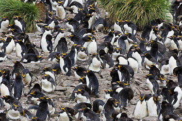 Macaroni Penguin (Eudyptes chrysolophus) colony, Cooper Bay, South Georgia Island  -  Suzi Eszterhas