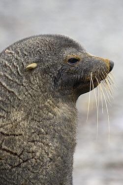 Antarctic Fur Seal (Arctocephalus gazella) male, Fortuna Bay, South Georgia Island  -  Suzi Eszterhas