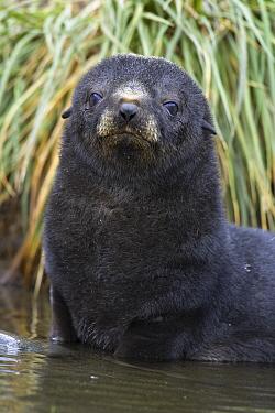 Antarctic Fur Seal (Arctocephalus gazella) pup, Fortuna Bay, South Georgia Island  -  Suzi Eszterhas
