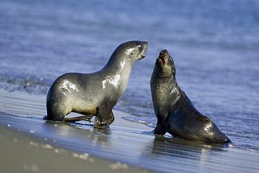 Antarctic Fur Seal (Arctocephalus gazella) pups play-fighting, Fortuna Bay, South Georgia Island  -  Suzi Eszterhas