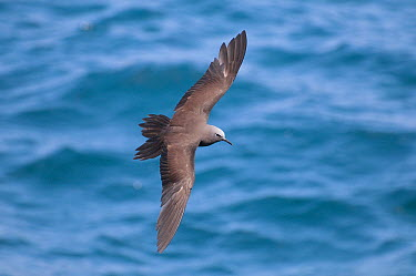 Brown Noddy (Anous stolidus) flying, Galapagos Islands, Ecuador  -  Tui De Roy