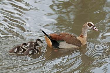 Egyptian Goose (Alopochen aegyptiacus) parent swimming with goslings, Kenya  -  Tui De Roy