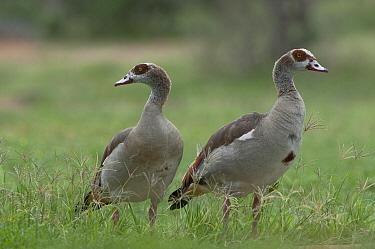 Egyptian Goose (Alopochen aegyptiacus) pair, Kenya  -  Tui De Roy