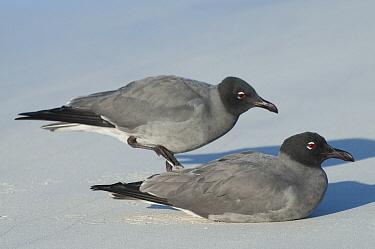 Lava Gull (Larus fuliginosus) pair, Galapagos Islands, Ecuador  -  Tui De Roy