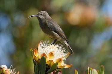 Malachite Sunbird (Nectarinia famosa) female on Protea (Protea sp) flower, Kenya  -  Tui De Roy