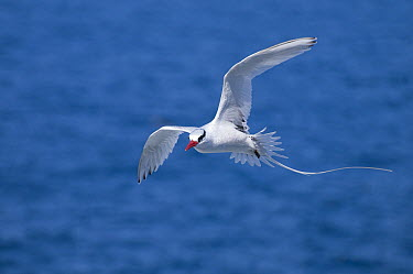 Red-billed Tropicbird (Phaethon aethereus) flying, Galapagos Islands, Ecuador  -  Tui De Roy