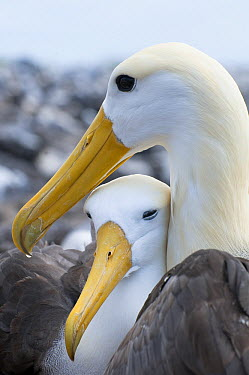 Waved Albatross (Phoebastria irrorata) pair bonding, Galapagos Islands, Ecuador  -  Tui De Roy