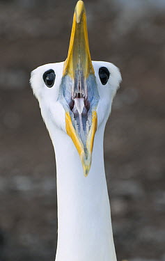 Waved Albatross (Phoebastria irrorata) displaying, Galapagos Islands, Ecuador  -  Tui De Roy