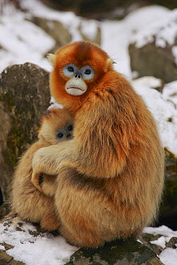 Golden Snub-nosed Monkey (Rhinopithecus roxellana) mother holding baby to keep warm, Qinling Mountain, Shaanxi Province, China  -  Xi Zhinong
