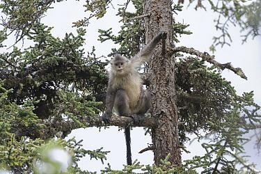 Yunnan Snub-nosed Monkey (Rhinopithecus bieti) in tree, Mangkang, Tibet, China  -  Xi Zhinong