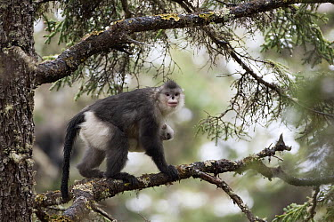Yunnan Snub-nosed Monkey (Rhinopithecus bieti) mother holding her baby moving through trees, Mangkang, Tibet, China  -  Xi Zhinong