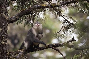 Yunnan Snub-nosed Monkey (Rhinopithecus bieti) mother with her baby, Mangkang, Tibet, China  -  Xi Zhinong